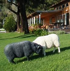 ShepardMesa-sheep