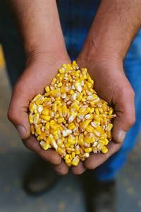 Sustainable-handsful-of-corn-kernals